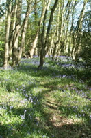 Bluebell filled woods